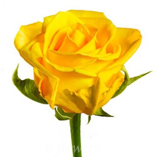 Роза желтого цвета