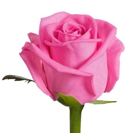 Роза розового цвета