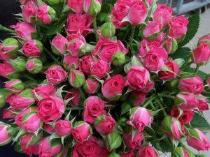 Кустовая роза ярко-розового цвета
