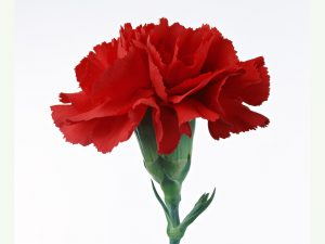 Гвоздика красная цветок