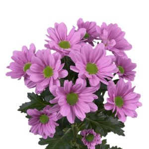 Кустовые хризантемы лилового цвета