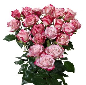 Кустовая роза розово-белого цвета