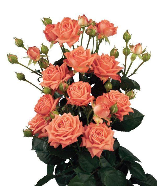 Кустовая роза нежно-розового цвета