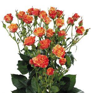 Кустовая роза Fire Flash Красно-оранжевого цвета