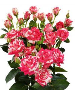 Кустовая роза красно-белого цвета