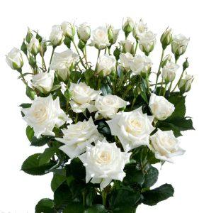 Кустовая роза белого цвета
