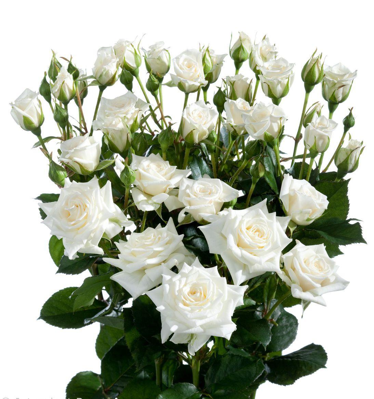 этом случае кустовые белые цветы фото христово отмечается