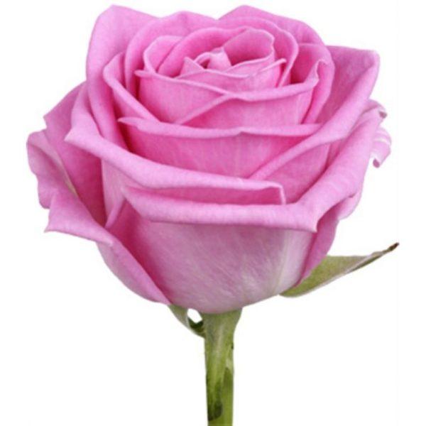 Роза Аква розового цвета