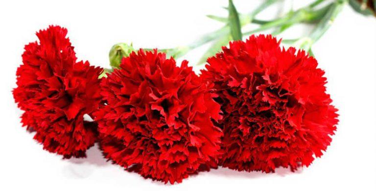 Красные гвоздики на столе