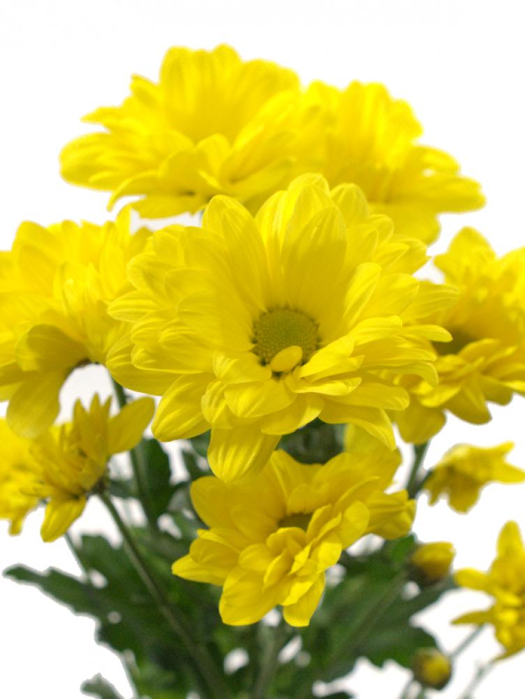 Кустовые хризантемы желтого цвета