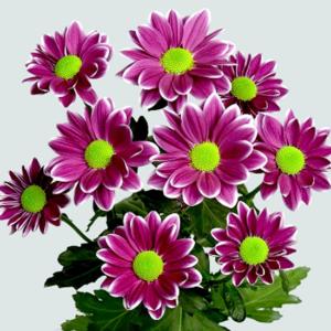 Кустовые хризантемы фиолетового цвета