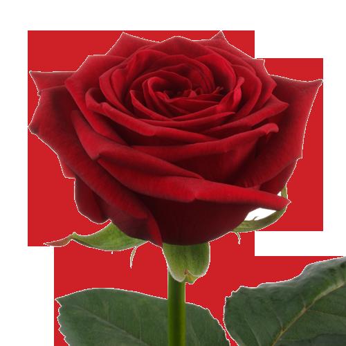 роза red naomi красного цвета