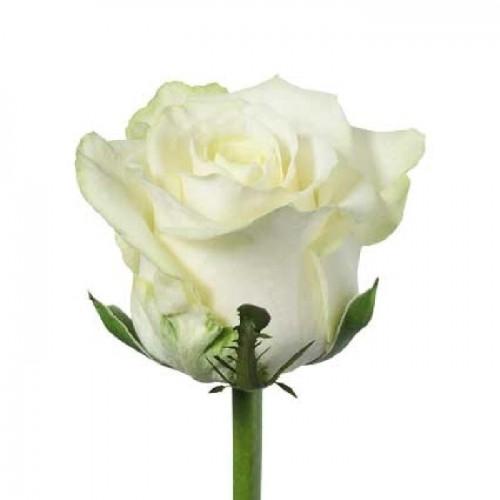 Роза белого цвета